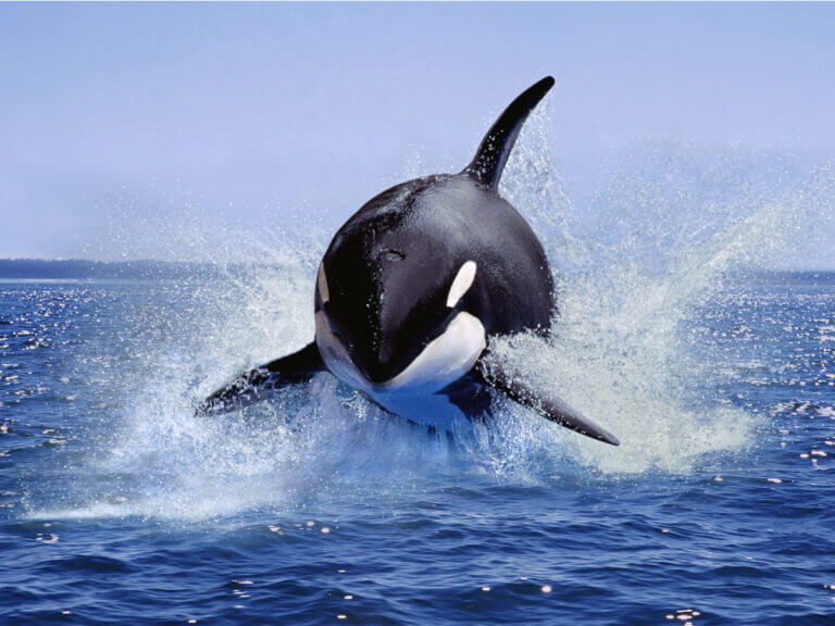 See Orca Killer Whales jumping in Bremer Bay Canyon