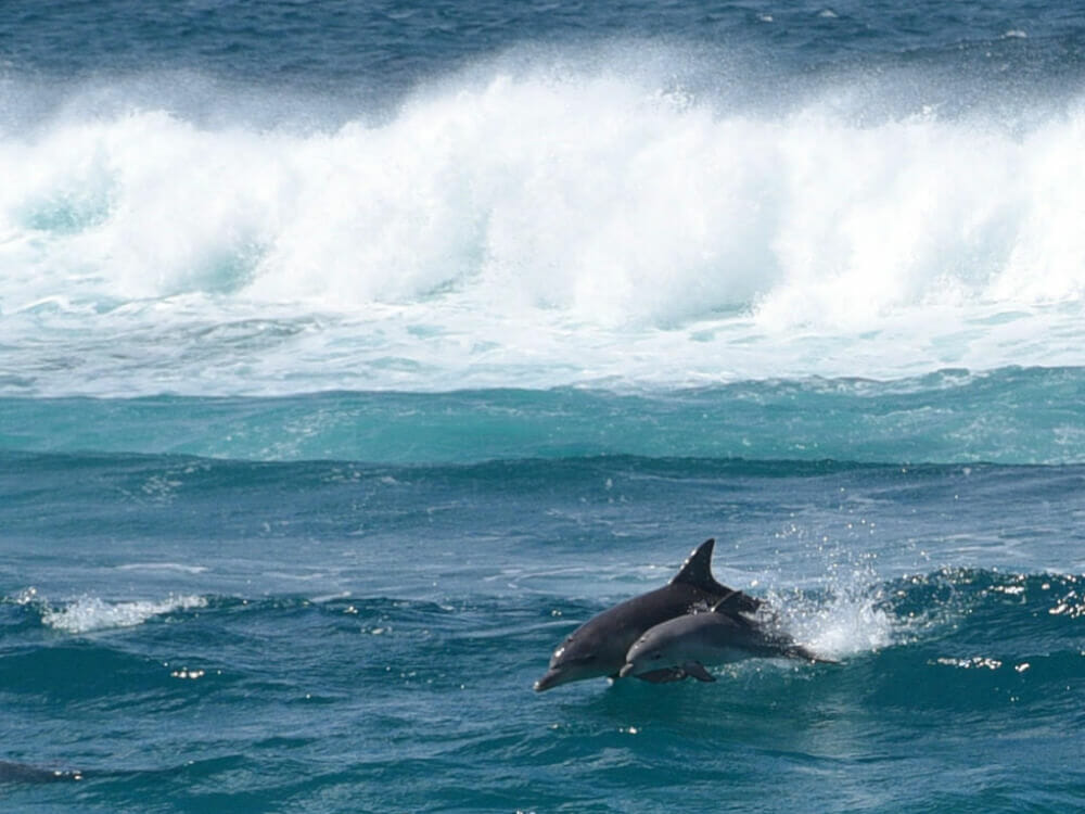 See dolphins jumping in the surf