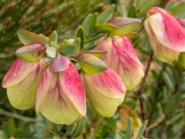 Quaalup Bell (Pimelea physodes)